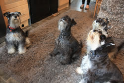 We have four schnauzer dogs